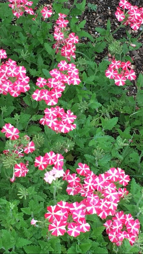 verbena in garden