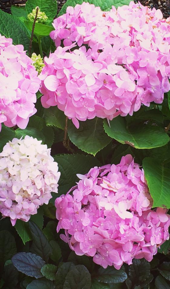 hydrangea in garden