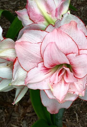 amaryllis in garden