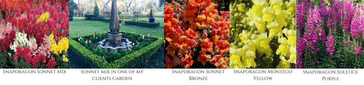 fall flowers, snapdragons