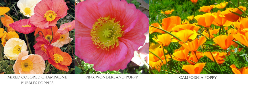 poppies, fall flowers