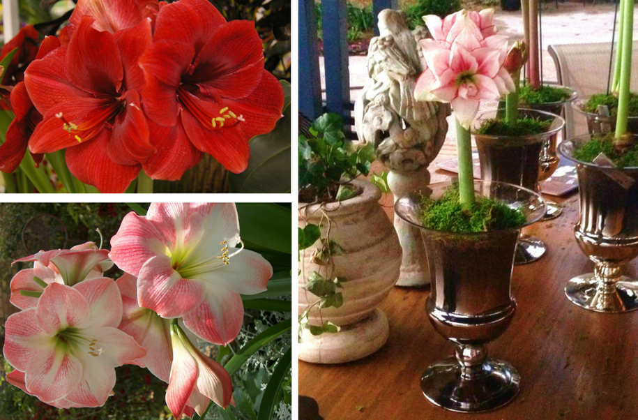 amaryllis bulbs, christmas gifts